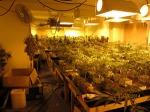 Marijuana found inside an Eastvale residence. (Riverside Sheriff's Dept.)