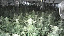 Plants seized during an investigation in February 2014. Picture courtesy of Eastvale Police Dept.