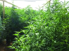Outdoor Marijuana Cultivation (Photo Courtesy: San Bernardino County Sheriff's Department)